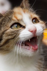 meowing-cat-871296752495ETj