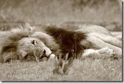 quiet-lion