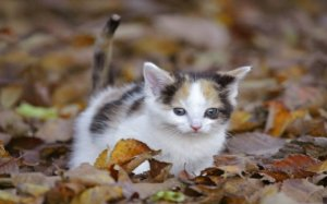 funny-kitten-in-leaves_w520