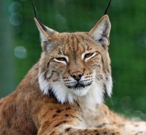 bobcat-165190_640