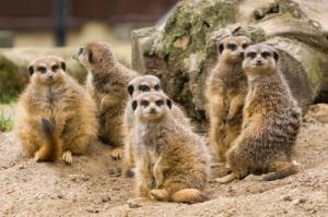 meerkat-164053_640