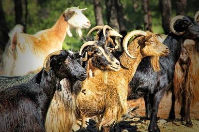 goat-1065636_640