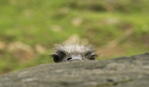 ostrich-571457_640