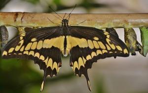 swallowtail-butterfly-329086_640