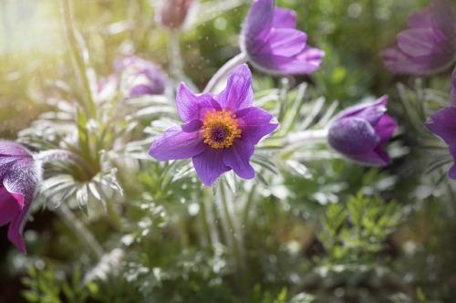 common-pasque-flower-1347971_640