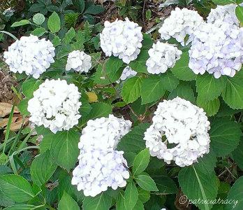 flowerbush