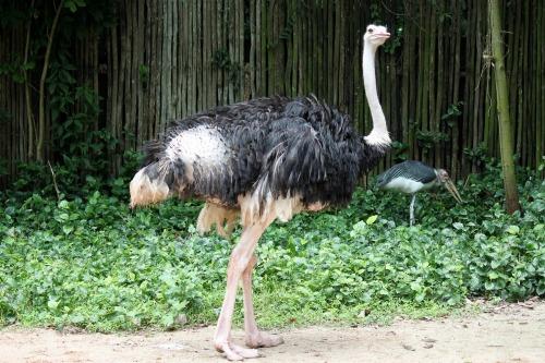 ostrich-217135_1280