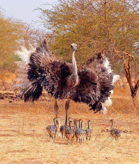 ostrich-621370_640