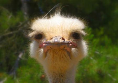 ostrich-992753_640