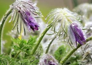 pasque-flower-1354478_640