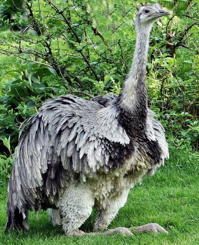 rhea-bird-1438601_640