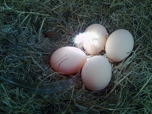 eggs-423809_640