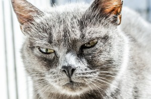 https://pixabay.com/en/cat-angry-unhappy-wild-black-gray-334383/