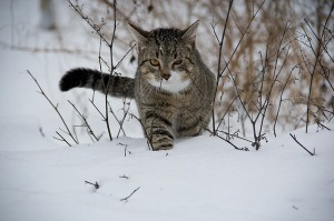 https://pixabay.com/en/cat-animal-snow-188088/