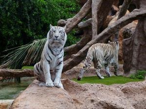 white-bengal-tiger-407033_640