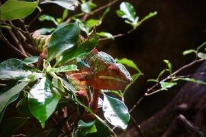 chameleon-1356469_640