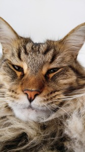 maine-coon-1548244_640