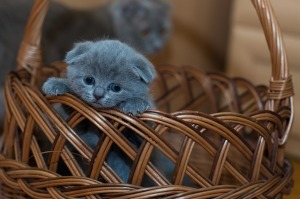 https://pixabay.com/en/adorable-animal-basket-cat-cute-1845789/
