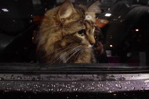 https://pixabay.com/en/cat-window-car-waiting-sad-kitten-1575650/