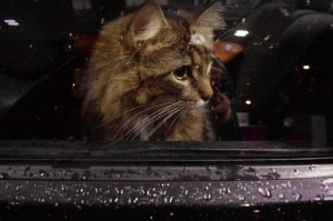 https://pixabay.com/en/cat-window-car-waiting-sad-kitten-1575650/