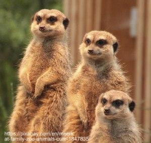 meerkat-1847835_640