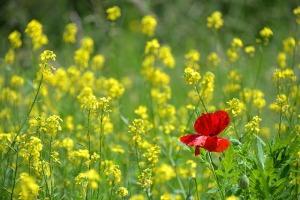 poppy-1819645_640