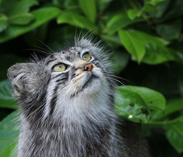 pallas-cat-275930_640