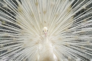 beautiful-white-feather-peacock-2363755_640