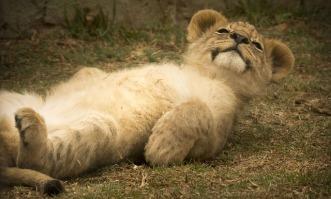 lion-cub-2818957_640