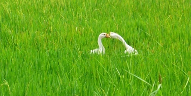 swan-1208976_640