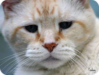 https://pixabay.com/en/cat-domestic-pet-feline-tabby-1233034/