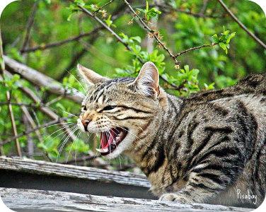 https://pixabay.com/en/cat-mieze-hiss-kitten-tiger-cat-2314077/