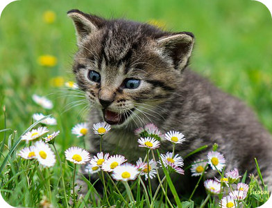 https://pixabay.com/en/kitty-cat-kid-cat-domestic-cat-2948404/