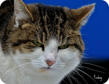 https://pixabay.com/en/cat-grumpy-mood-bad-portrait-face-1950632/