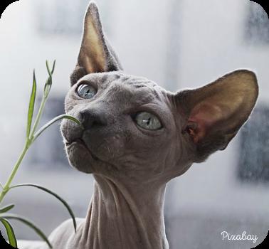 hairlesscat