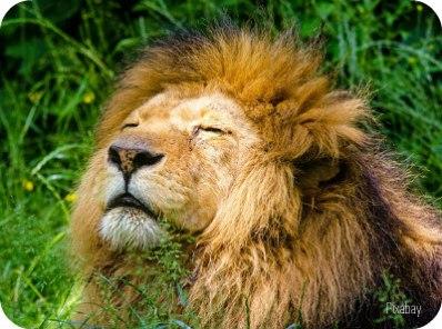 https://pixabay.com/en/african-lion-lion-male-mane-lazy-951778/