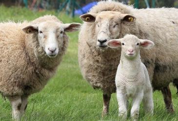sheep-1547720_640