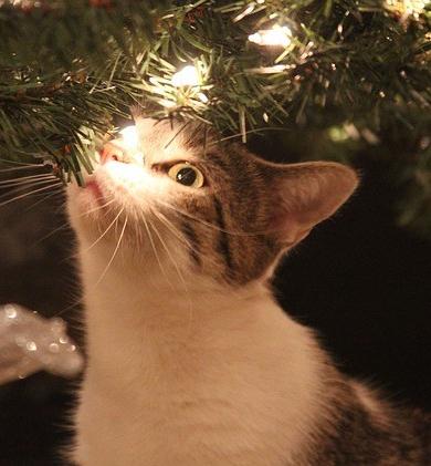 https://pixabay.com/en/kitty-christmas-cat-lights-2407454/