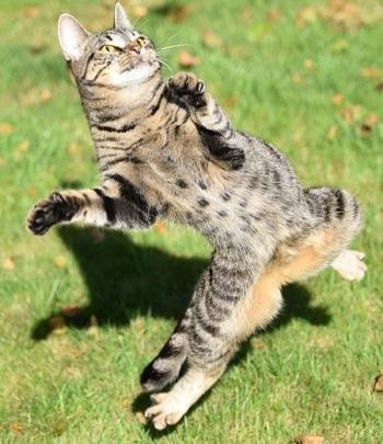 https://pixabay.com/en/cat-play-catch-mackerel-1718842/