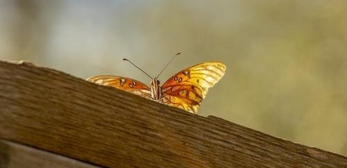 https://pixabay.com/en/butterfly-orange-rust-white-insect-3854656/