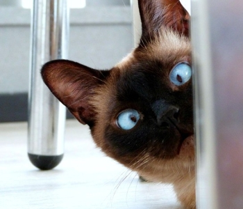 https://pixabay.com/en/eyes-cat-feline-looking-crossed-3924800/