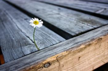 https://pixabay.com/en/flower-daisy-pier-summer-nature-2438754/